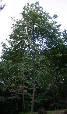 timber_hybrid